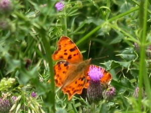 Comma Butterfly - Graham Hardy