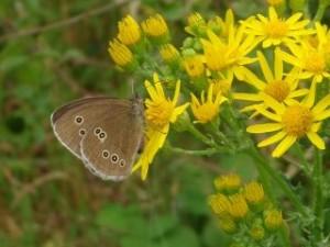 inglet butterfly