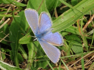 Common blue butterfly (© Jenny Craig)