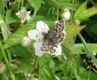 Grizzled skipper butterfly; bramble flowers